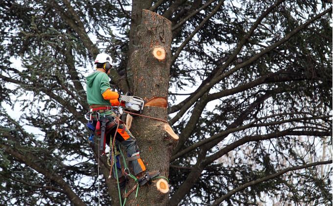 elagueur-grimpeur-arbre-taille